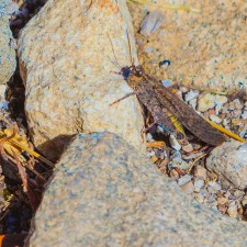 Sierra Nevada grasshopper
