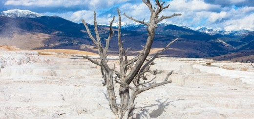 Trees of Yellowstone