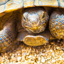 Drug seeking tortoise of Joshua Tree