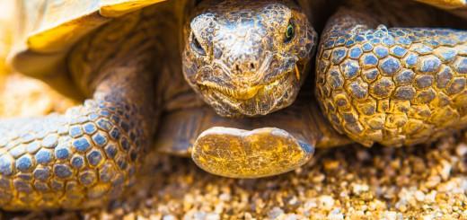 Drug seeking tortoise of Joshua Tree