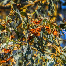 Monarch Butterfly Natural Preserve