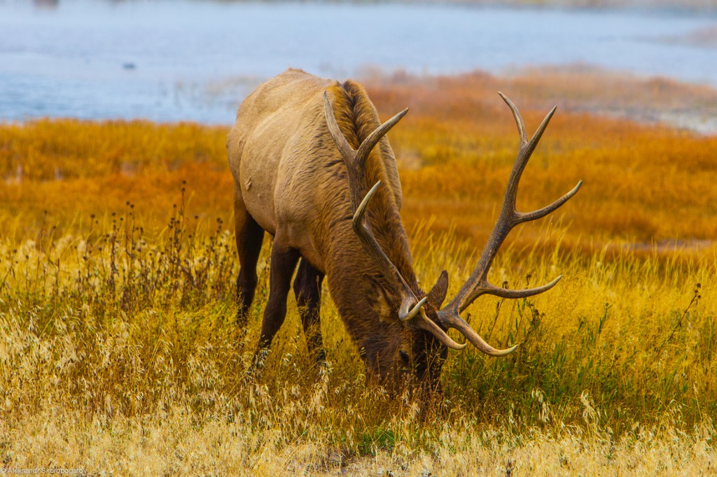 Yellowstone Elk could not foresee nothing