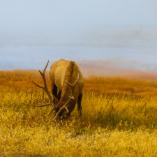 Yellowstone Elk: grazing just calm