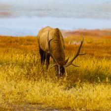 Yellowstone Elk with massive antlers
