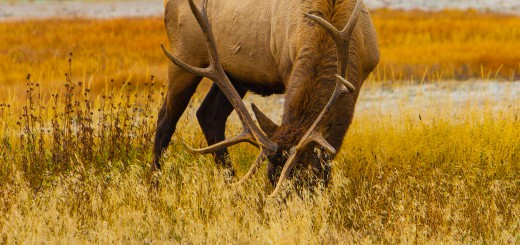 Grazing Yellowstone Elk with its mighty antlers